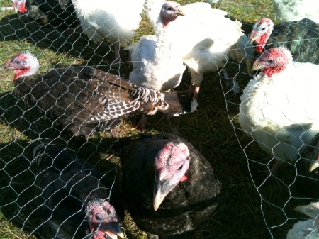 THE_TURKEYS